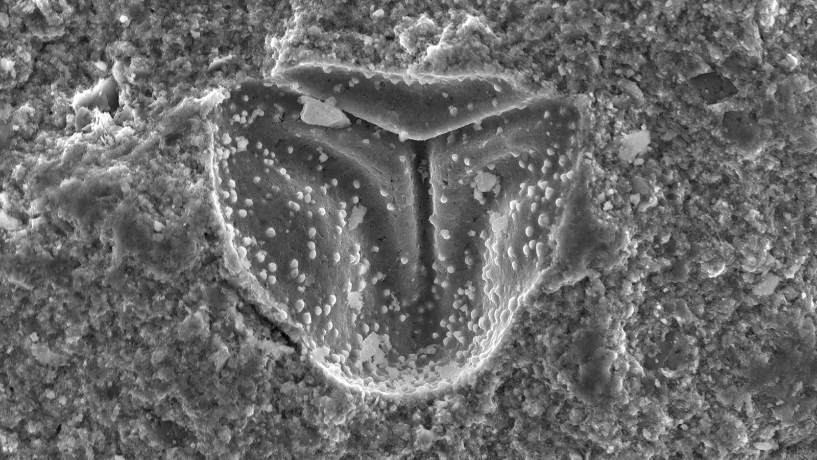 Microfossil Pollen