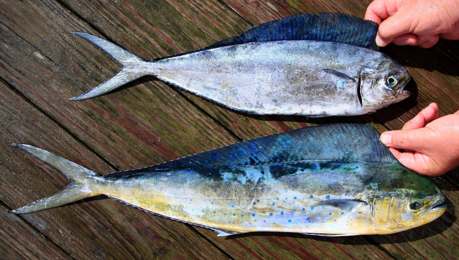 Pompano Mahi Mahi and Mahi Mahi