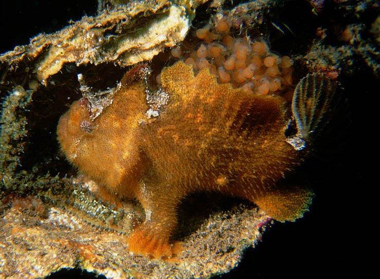Prickly Anglerfish, <i>Echinophryne crassispina</i>