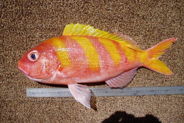 <i>Pristipomoides zonatus </i>