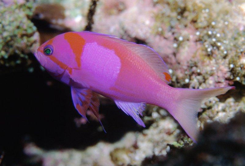 Pseudanthias pleurotaenia