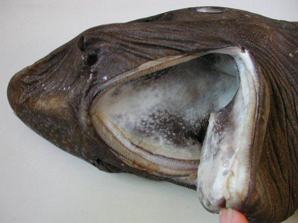 Pseudotriakis microdon