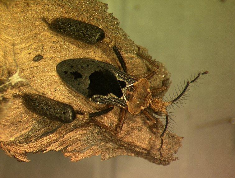 Ptilocnemis femoralis