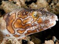 Purplebanded Snake Eel, Ophichthus bonaparti
