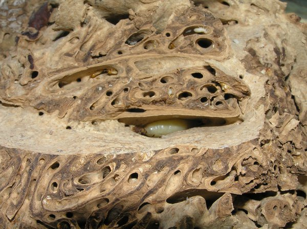Queen termite in chamber