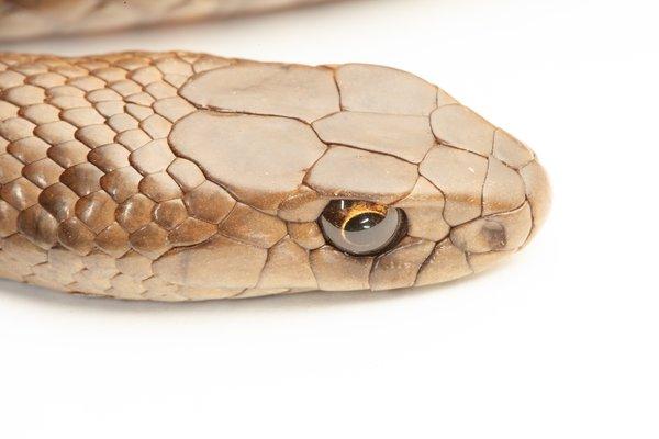 R.185774 Eastern Brown Snake (Pseudonaja textilis)