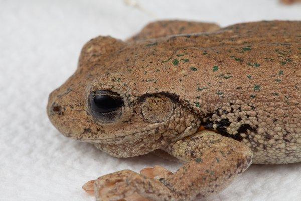 R.185862 Peron's Tree Frog (Litoria peronii)