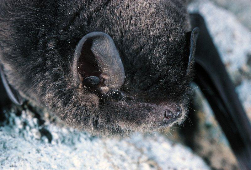 Large Bent-wing Bat