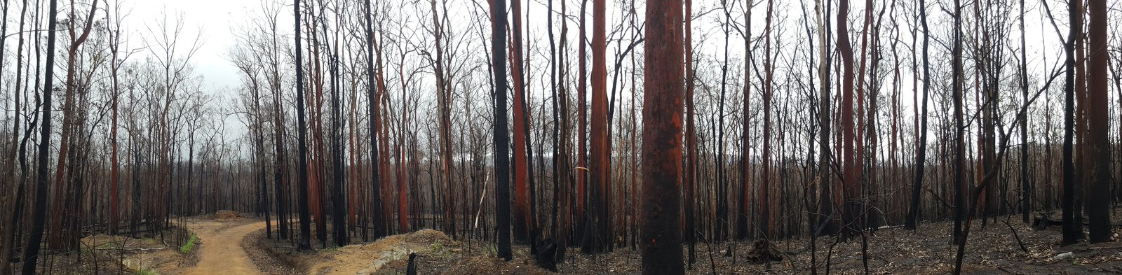 This was the cover photo for the Royal Zoological Society of NSW forum flyer. Three months after extensive, high severity fire in Kiwarrack State Forest, near Taree. Most of these trees have subsequently resprouted via epicormic buds.