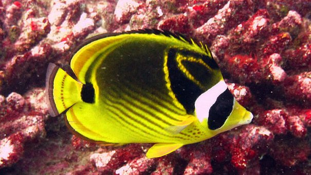 Racoon Butterflyfish, Chaetodon lunula