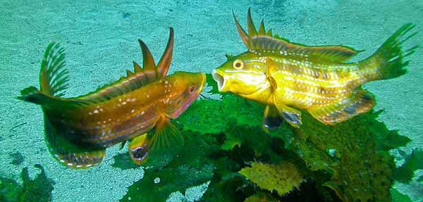 Rainbow Cale, Heteroscarus acroptilus