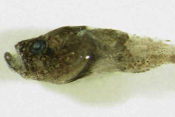 Rare Velvetfish, <i>Matsubarichthys inusitatus</i>