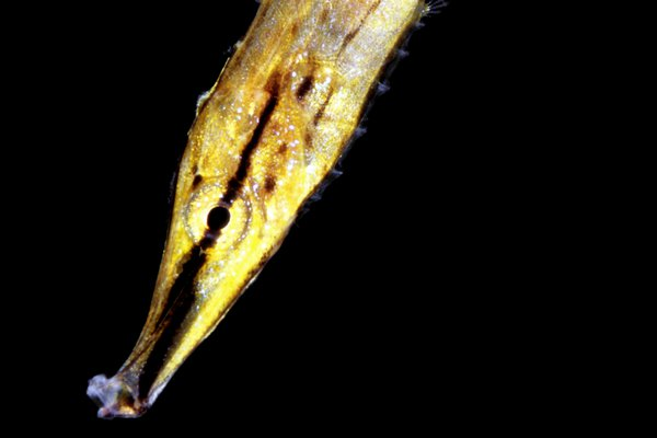 Razorfish, Aeoliscus strigatus