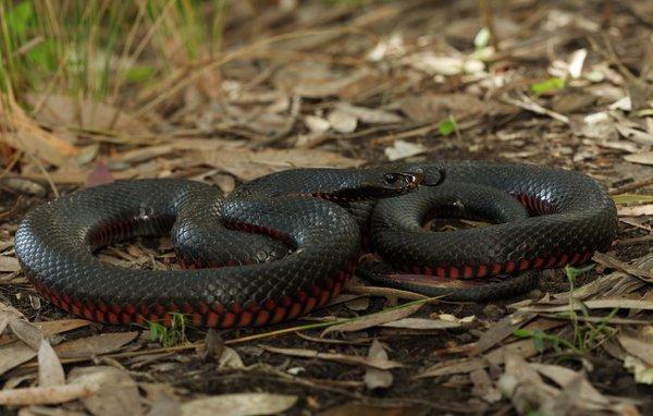 Red-bellied Black Snake <i>Pseudechis porphyriacus</i>