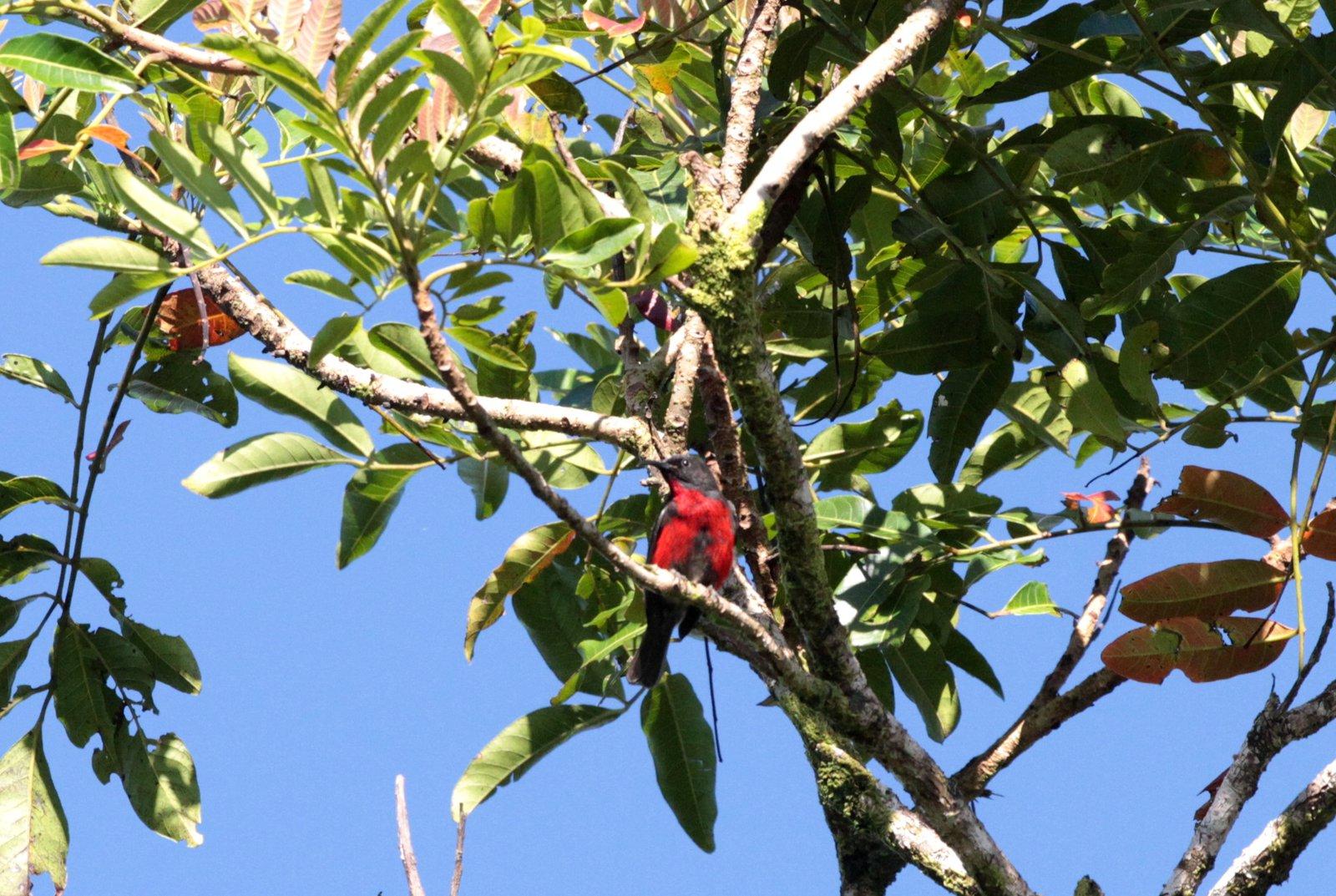 Red-bellied Myzomela, Malaita, Solomon Islands