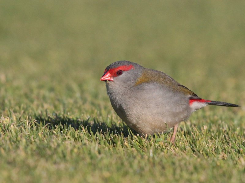 Red-browed Firetails