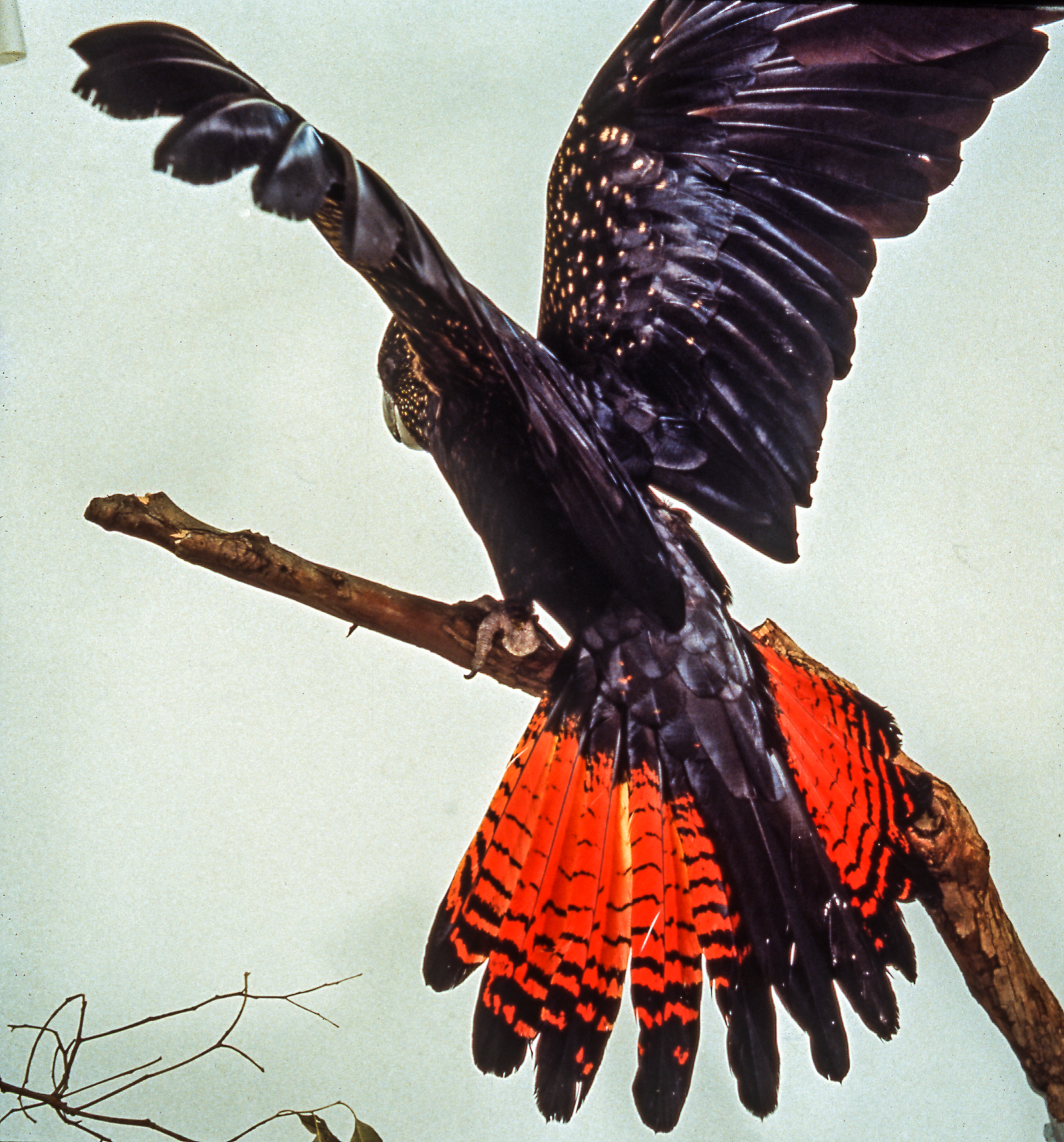 Red-tailed Black Cockatoo on a tree