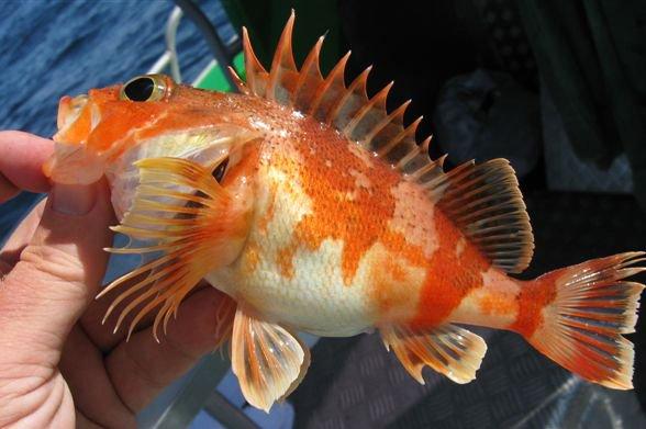 Reef Ocean Perch, <i>Helicolenus percoides</i>
