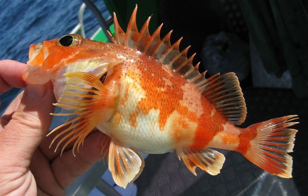 Reef Ocean Perch, <i>Helicolenus percoides</i>