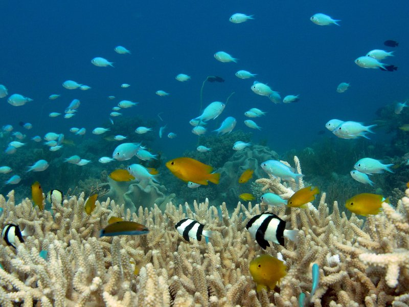 Reef fish on Acropora