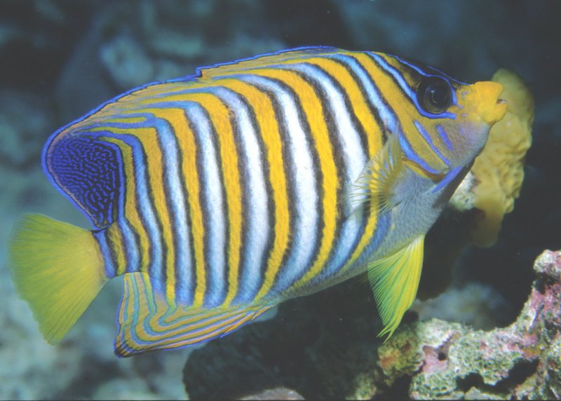 Regal Angelfish,<i> Pygoplites diacanthus </i>