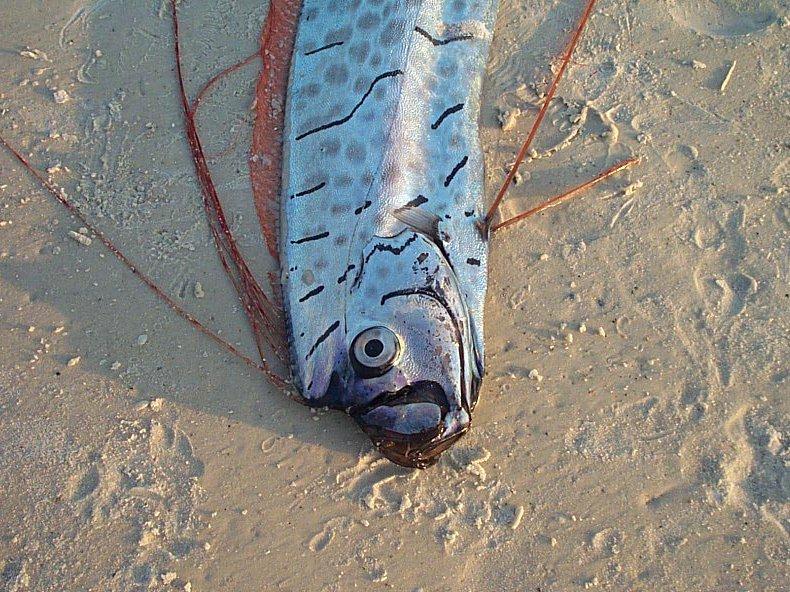 Oarfish, <i>Regalecus glesne</i>