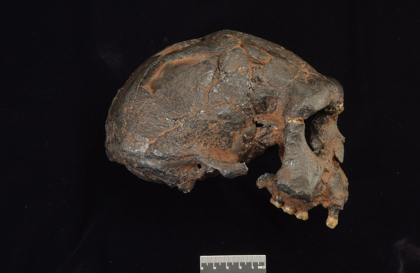 Replica Homo erectus skull