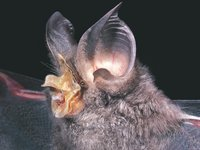 Rhinolophus philippinensis