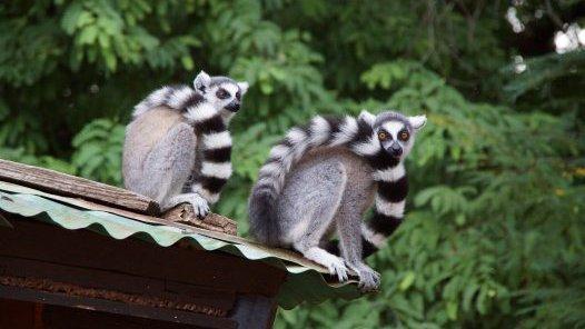 Ring Tailed Lemurs at Berenty