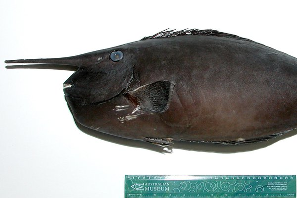 Ringtail Unicornfish, <i>Naso annulatus</i>