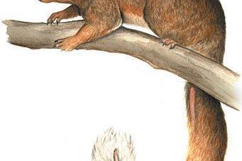 Riversleigh Sprite Possum