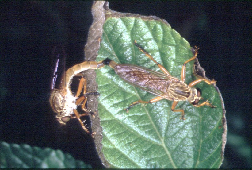 Robber flies mating