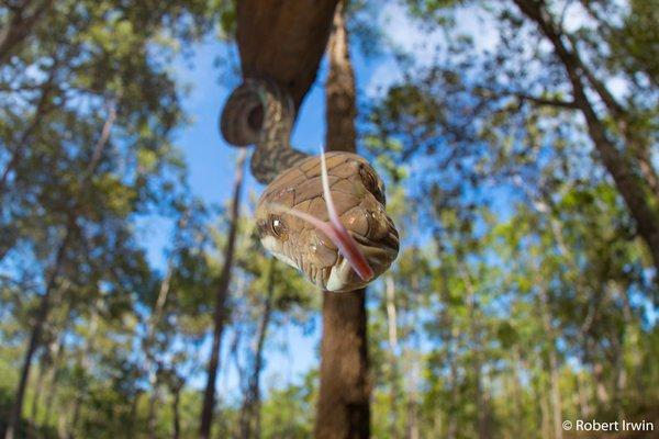 Scrub python, Simalia kinghorni