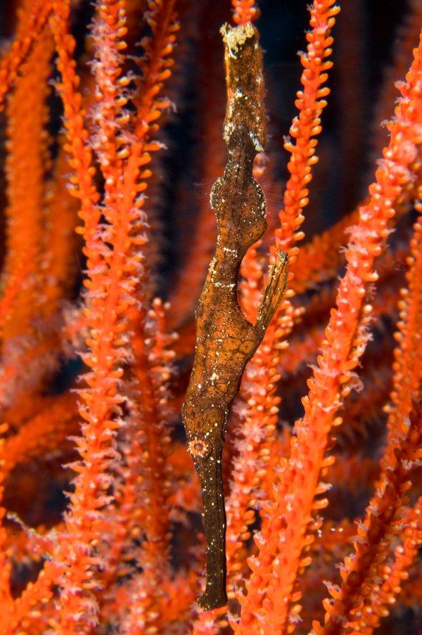 Robust Ghost Pipefish, Solenostomus cyanopterus