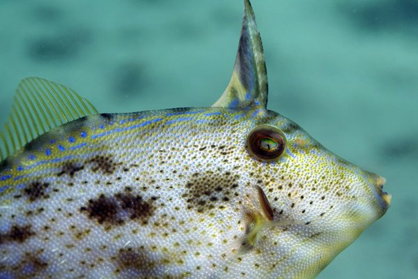 Rough Leatherjacket, Scobinichthys granulatus