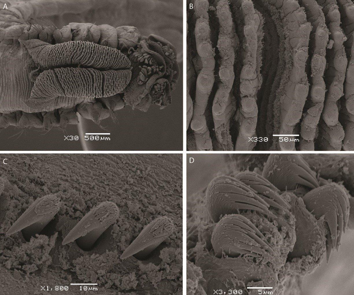 SEM images of Terebellides lilasae (Lavesque et al. 2019)