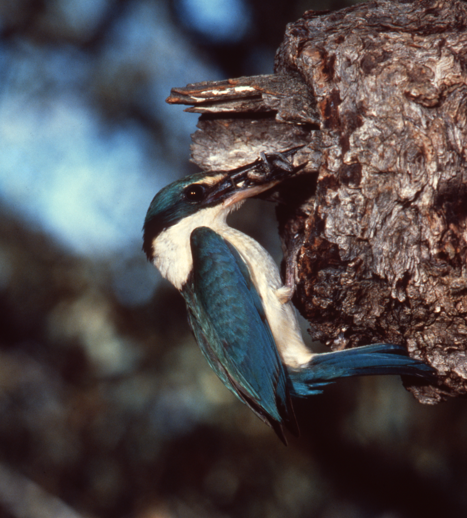 Sacred Kingfisher with insect