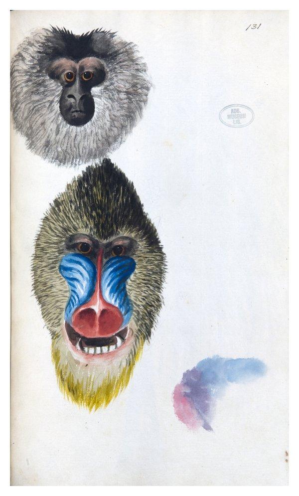 Sarah Stone Watercolour Baboon