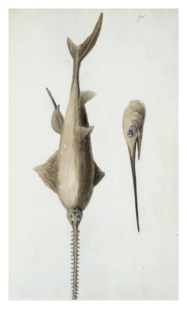 Sarah Stone Watercolour Swordfish
