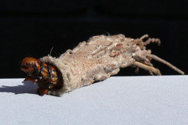 Saunders case moth