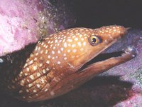 Saw-tooth Moray, Gymnothorax prionodon