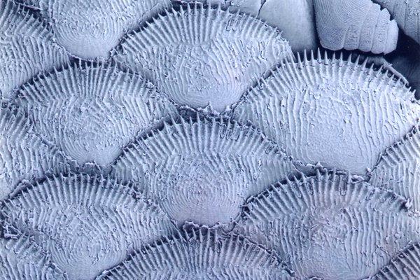 Scales of a Paradise Fish, <i>Macropodus opercularis</i>
