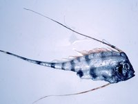 Scalloped Ribbonfish, <i>Zu cristatus</i>