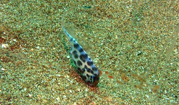 Scalloped Ribbonfish, Zu cristatus