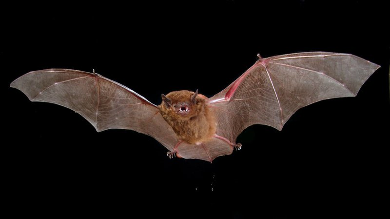 Greater Broad-nosed Bat