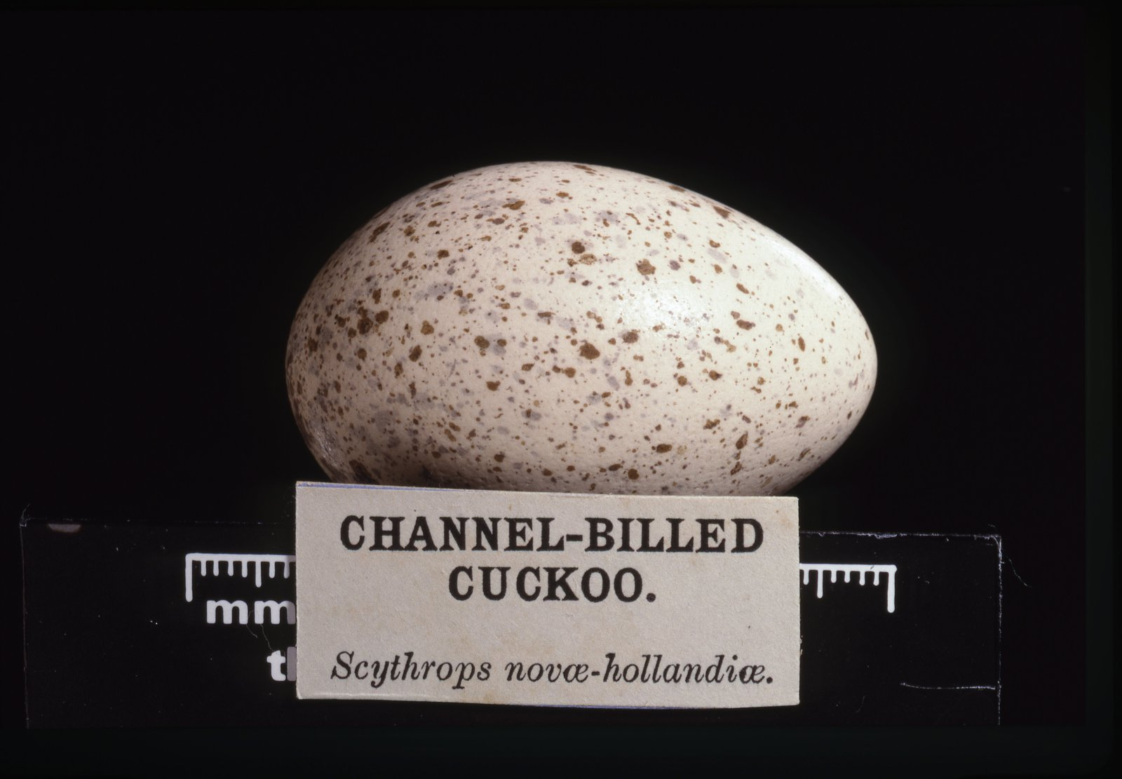 Scythrops novaehollandiae Latham, 1790. Channel-billed Cuckoo. Egg.