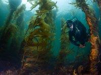 Seaweed underwater forests