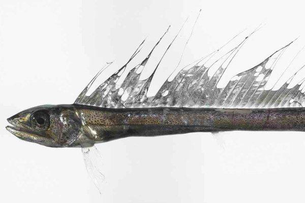 Shortsnout Lancetfish, <i>Alepisaurus brevirostris</i>