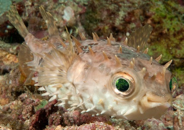 Shortspine Porcupinefish, Cyclichthys orbicularis