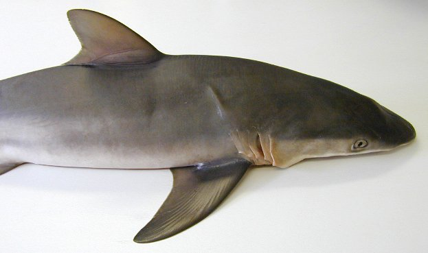 Silky Shark, Carcharhinus falciformis
